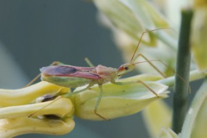 assassin bug adult