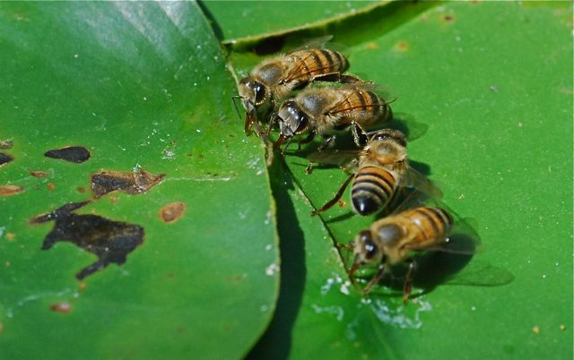 honey-bees-drinking