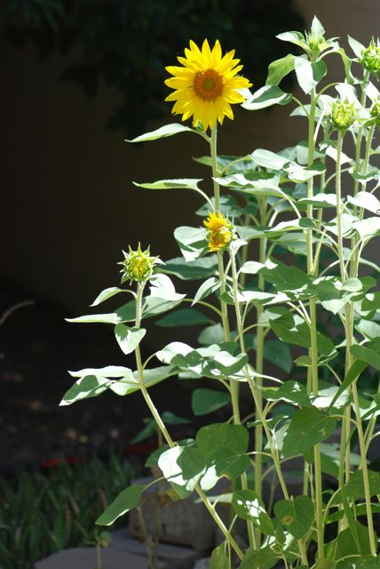 sunflower-plant