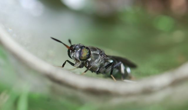 black-soldier-fly-close