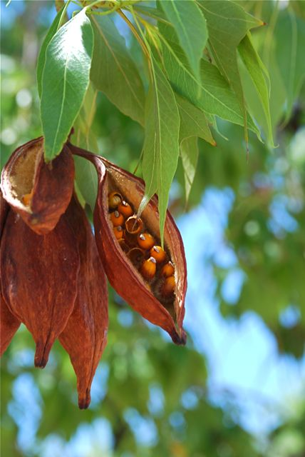bottle-tree-seeds