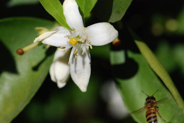 lemon-flower-bee-flying