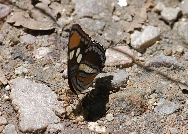 california-sister-puddling-2