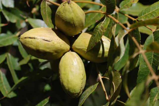 how to grow pecans from seed