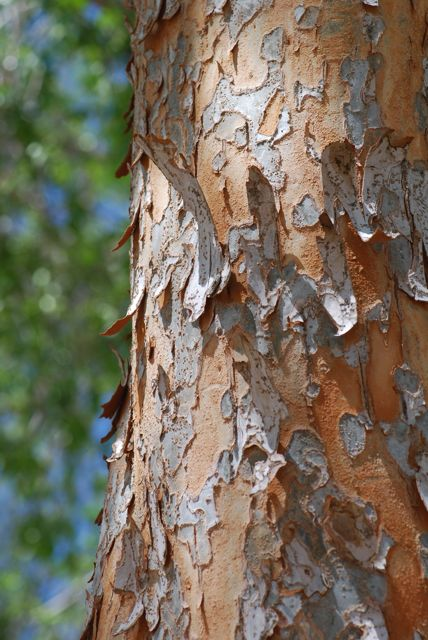 elm tree identification by bark. elm tree bark. of the Chinese