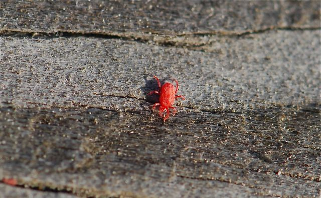 I wonder why they are so brightly colored  Have you ever seen red mites. Bug of the Week  Red Mites   Growing With Science Blog