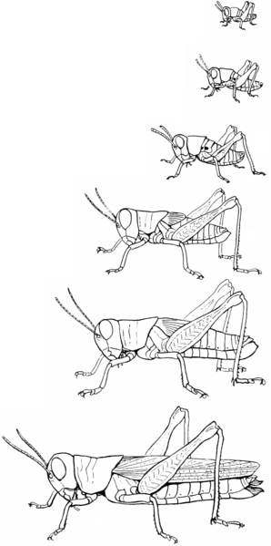 grasshopper-life-stages