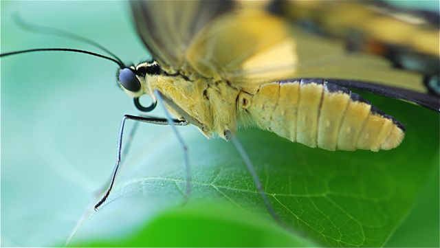 Butterfly Mouth Parts 9
