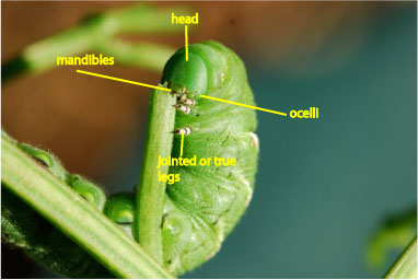 caterpillars – Growing With Science Blog