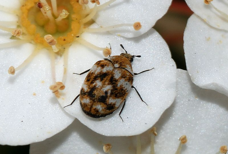 Photograph. Bug of the Week  Carpet Beetle Larva   Growing With Science Blog