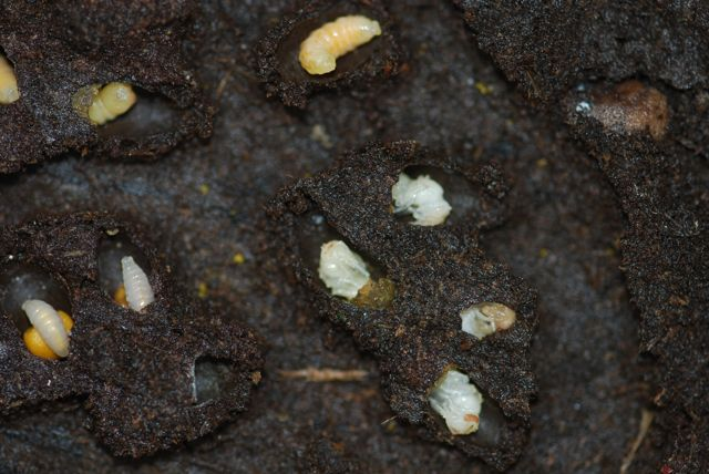 Life Cycle Of Carpet Beetle Images Silverfish In