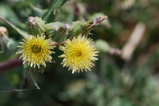 Seed of the week spiny sowthistle growing with science blog the yellow clusters of ray flowers mightylinksfo
