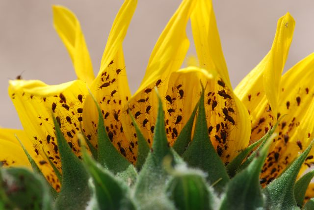 sunflower-aphids