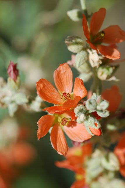 how to grow mallow from seed