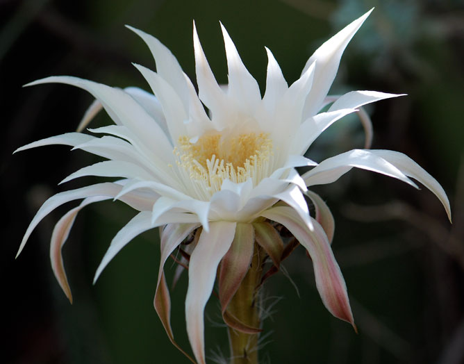 Seed of the week arizona queen of the night growing with science blog starting to close as the sunlight begins to find it although it was still producing a heavy perfume many of the night blooming flowers here are white mightylinksfo