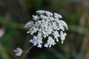 queen-annes-lace-beautiful