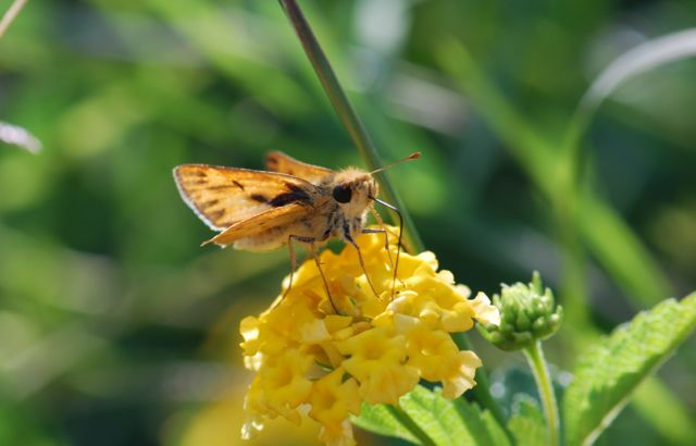 skipper-on-lantana