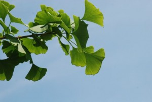 gingko-leaves
