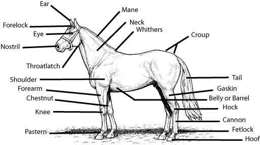 parts of the horse worksheet