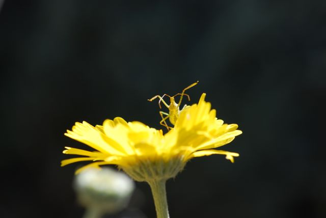 assassin-bug-in-desert-marigold