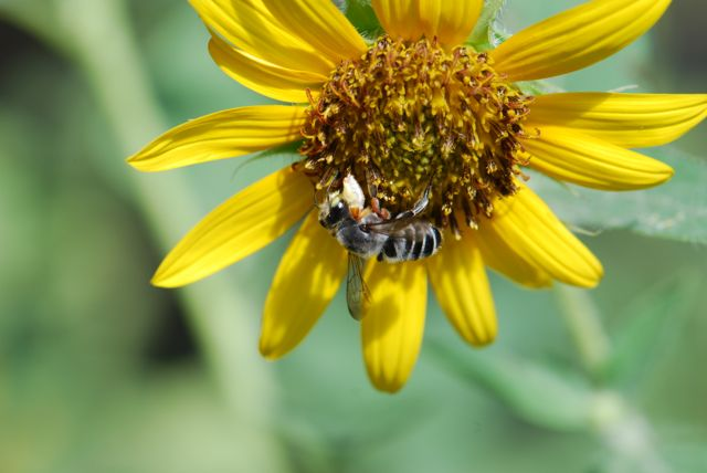 leafcutter-bee-male-for post