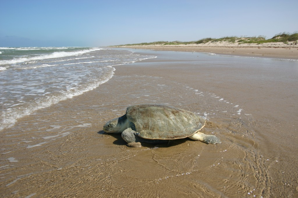 sea-turtle-water