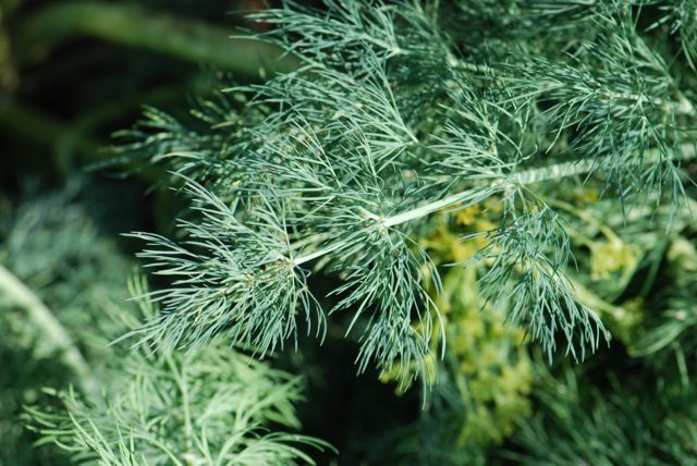 dill-foliage-another