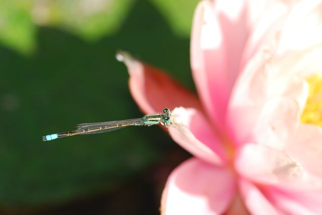 Damselfly-nice-close