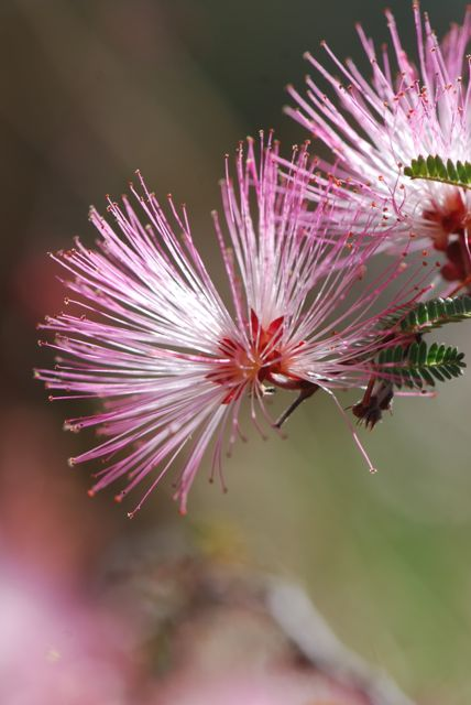 fairy-duster-pink
