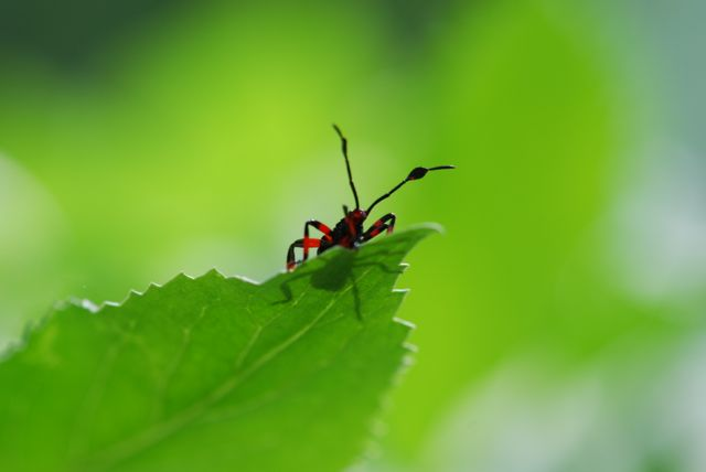 red-bug-on-leaf-hass