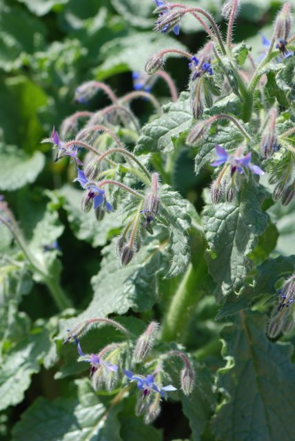 borage-leaves-and-flowers