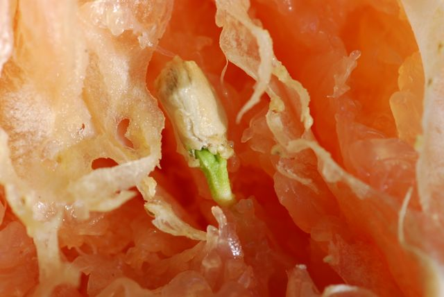 grapefruit-seed-sprouting-in-fruit