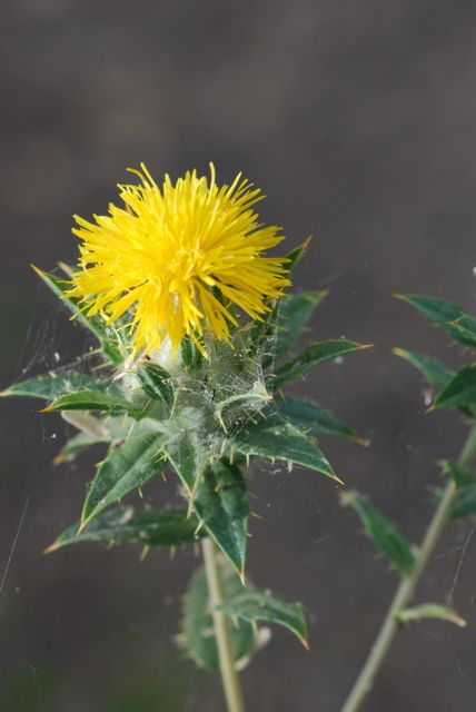 one possibility is that the seeds are from a plant closely related to safflower carthamus lanatus which is known as woolly distaff thistle or saffron