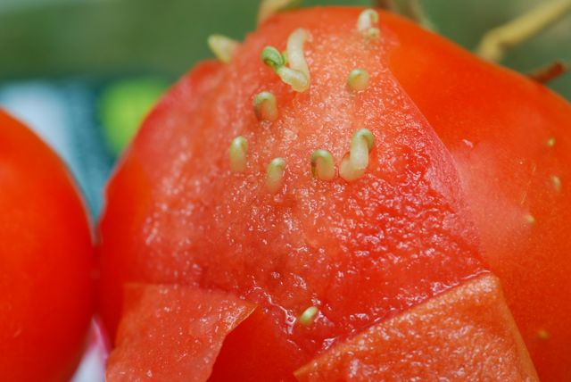 tomato-seeds-sprouting-peeled
