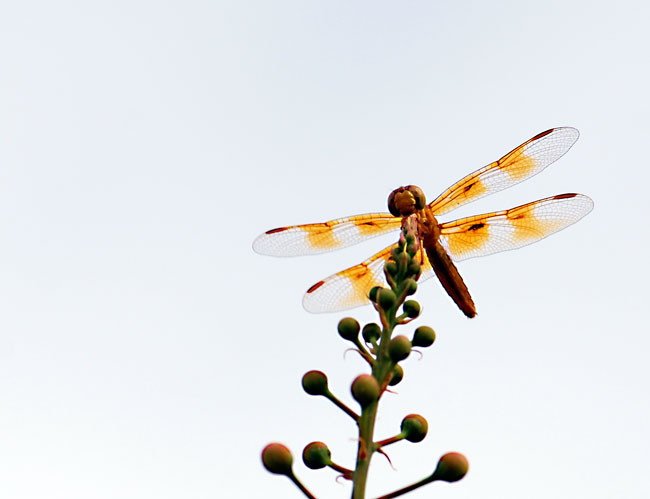 amberwing-dragonfly-two