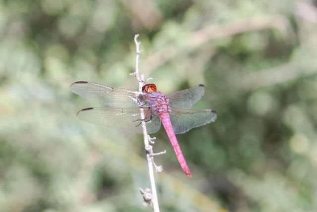roseate-skimmer-back-close