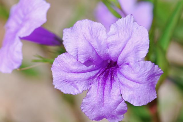 ruellia flower - Common Purple Garden Flowers