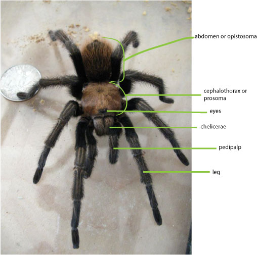 Answers to Tarantula Questions – Growing With Science Blog