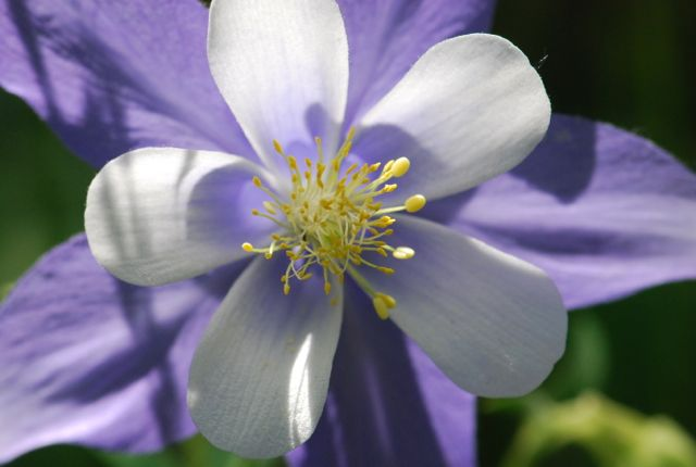 blue-columbine-another