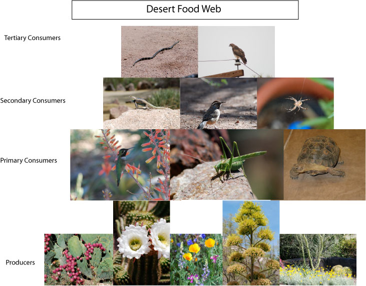 Desert Food Web Desert Food Web