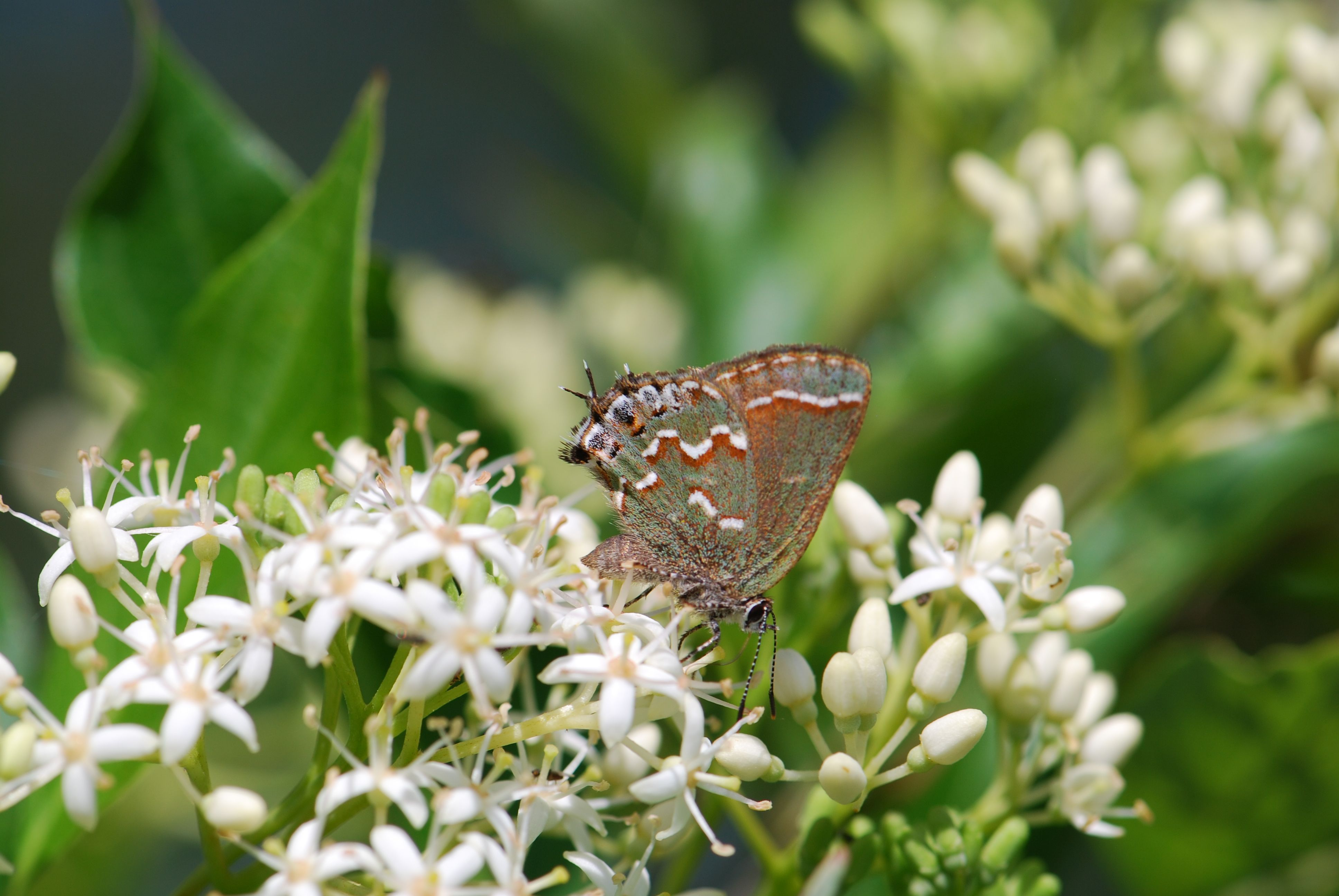 hairstreak-on-dogwood