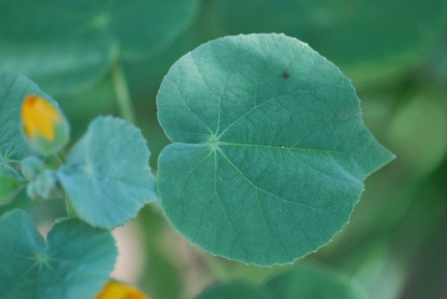 superstion-mallow-leaf