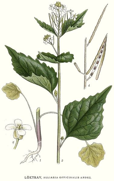 Alliaria_officinalis