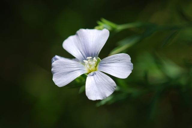 really-nice-blue-flax