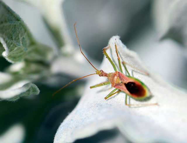 assassin-bug-on-brittle-bush-leaf-1