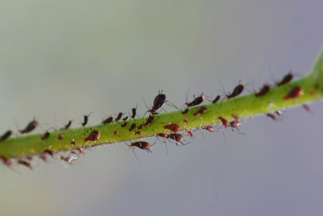 brittle-bush-aphids-close-8