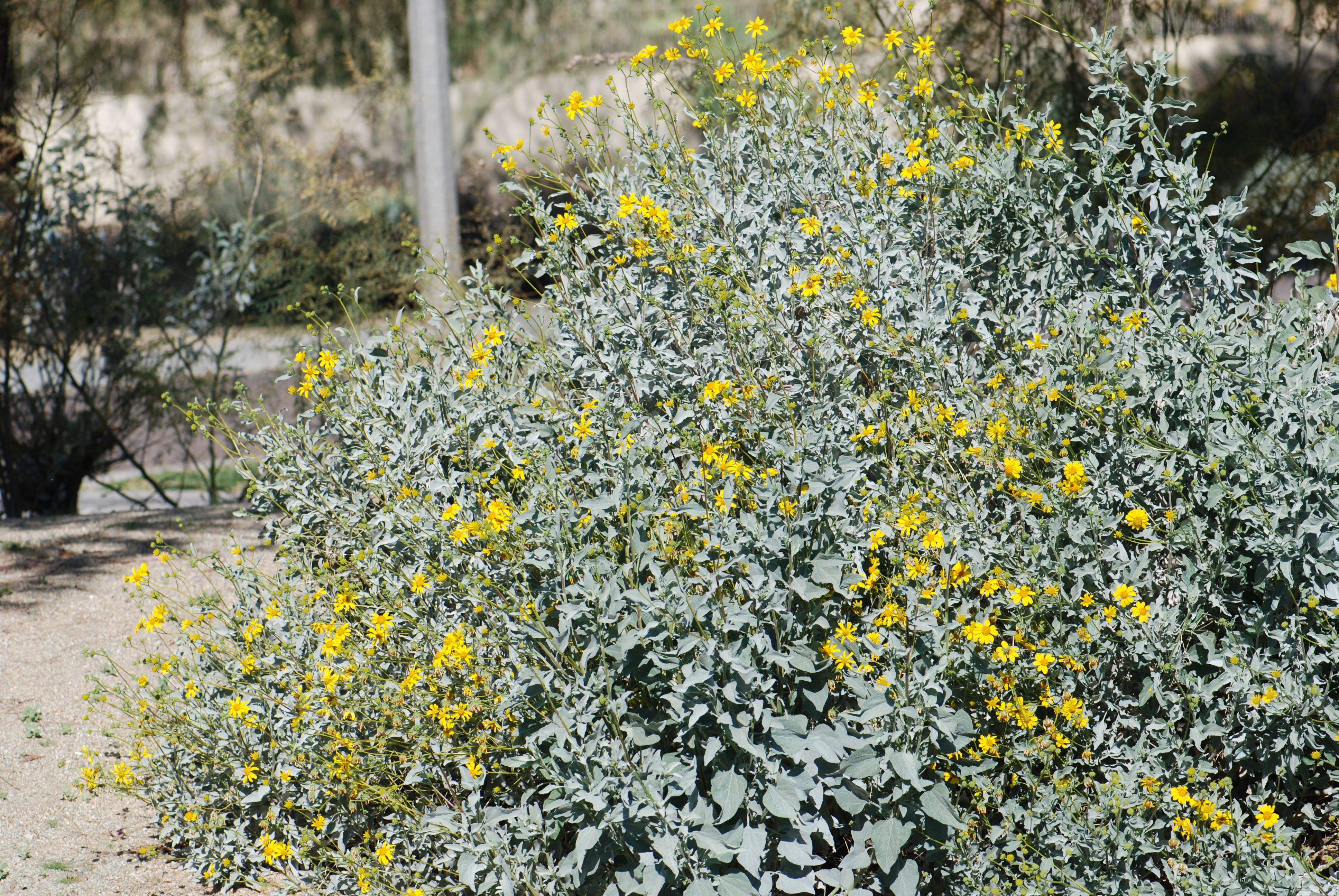 brittle-bush-at-desert-breeze-1