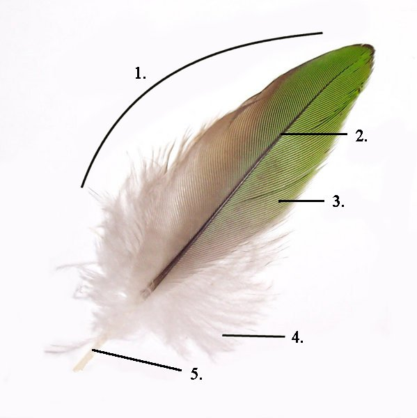 Parts_of_feather
