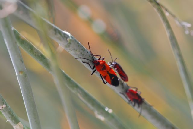 newly-emerged-milkweed-bug-best