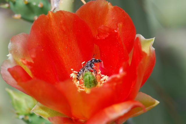 bee-in-cactus-flower-far